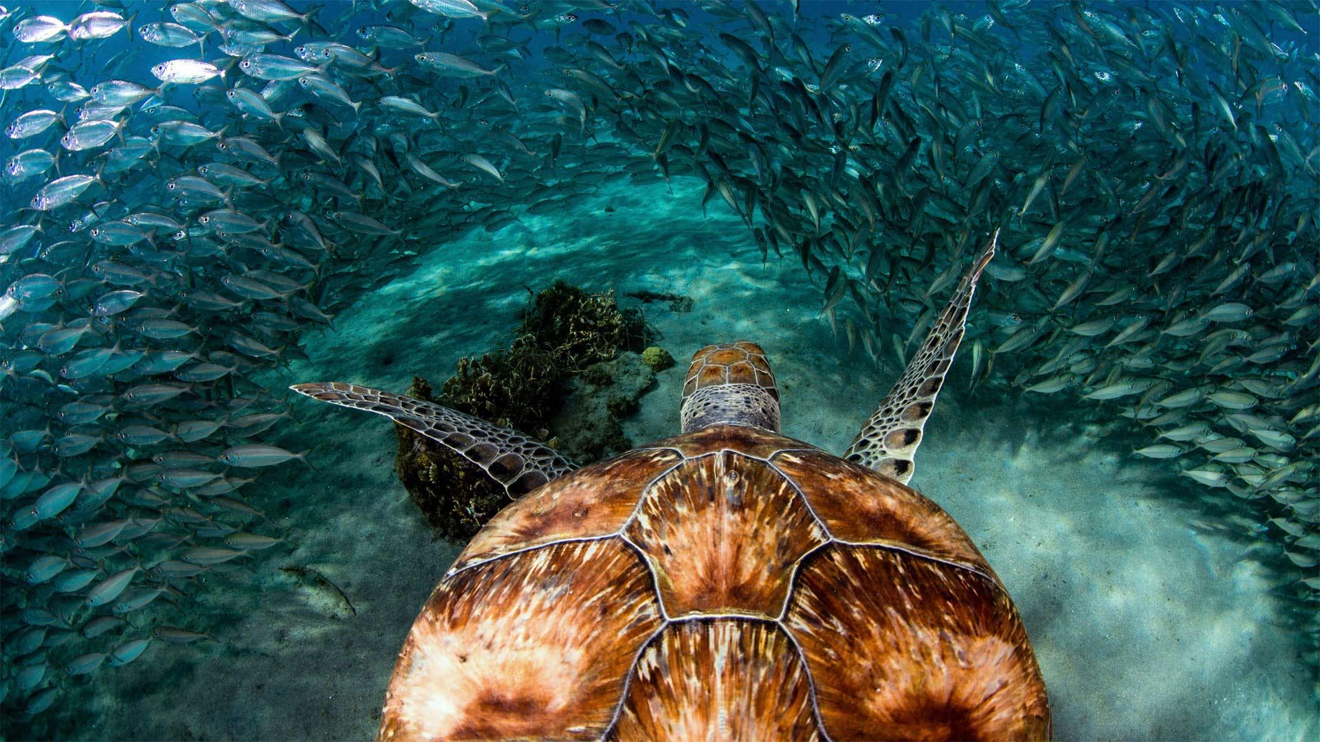 Green sea turtle with sardines near Playa Grandi, Curaçao (© yfhishinuma/Getty Images Plus)