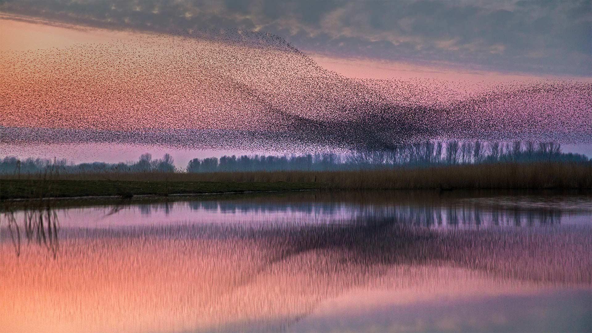 Starlings flock over Lauwersmeer National Park, Netherlands (© Frans Lemmens/Alamy)