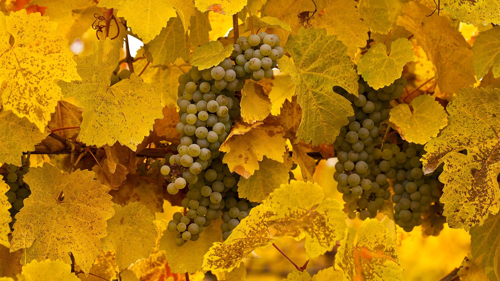 Gewürztraminer grapes at autumn harvest, Okanagan Valley, B.C., Canada (© Henry Georgi/age fotostock)