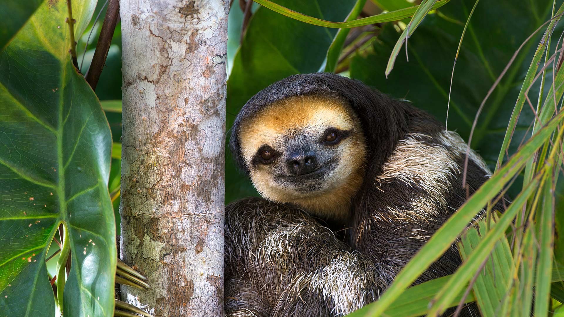 Pale-throated sloth perched in a tree on Sloth Island, Essequibo River, Guyana (© Suzi Eszterhas/Minden Pictures)