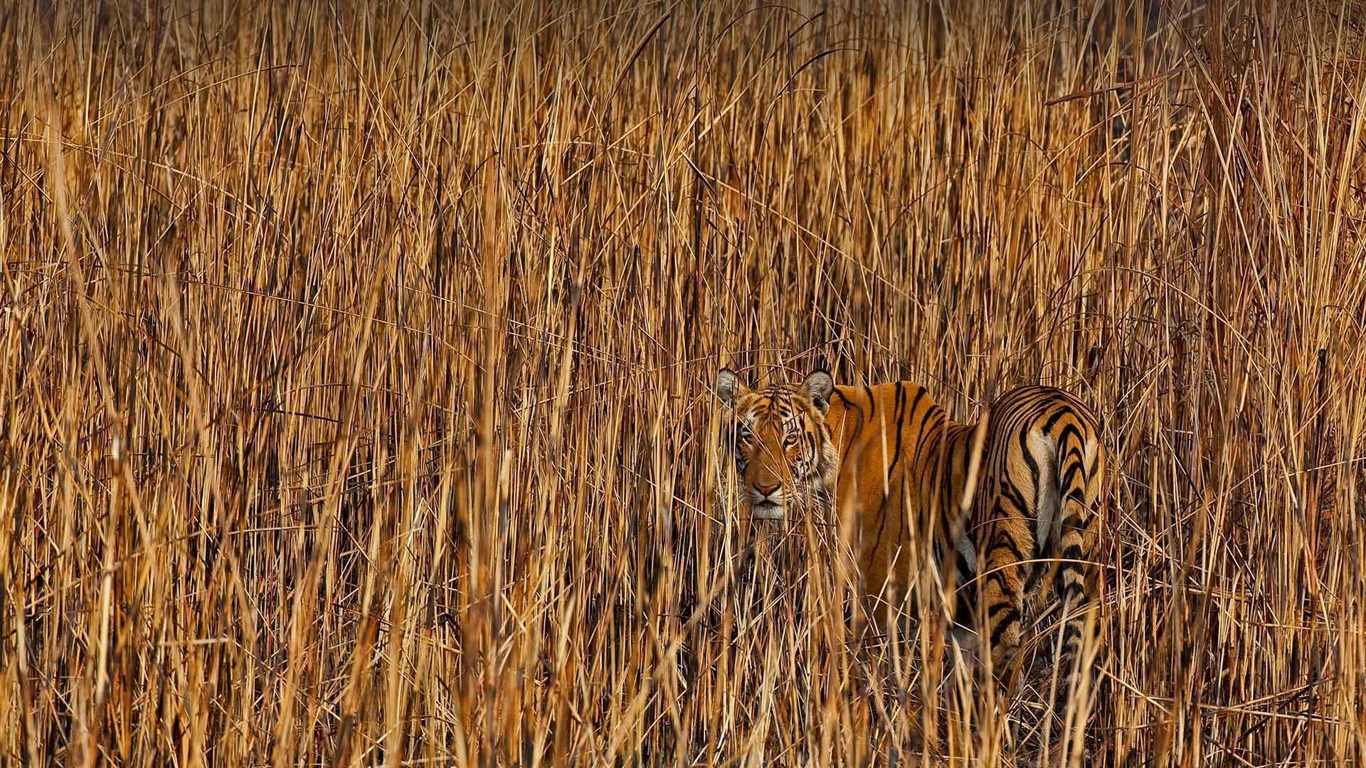 Tiger in Assam, India (© Sandesh Kadur/Minden Pictures)