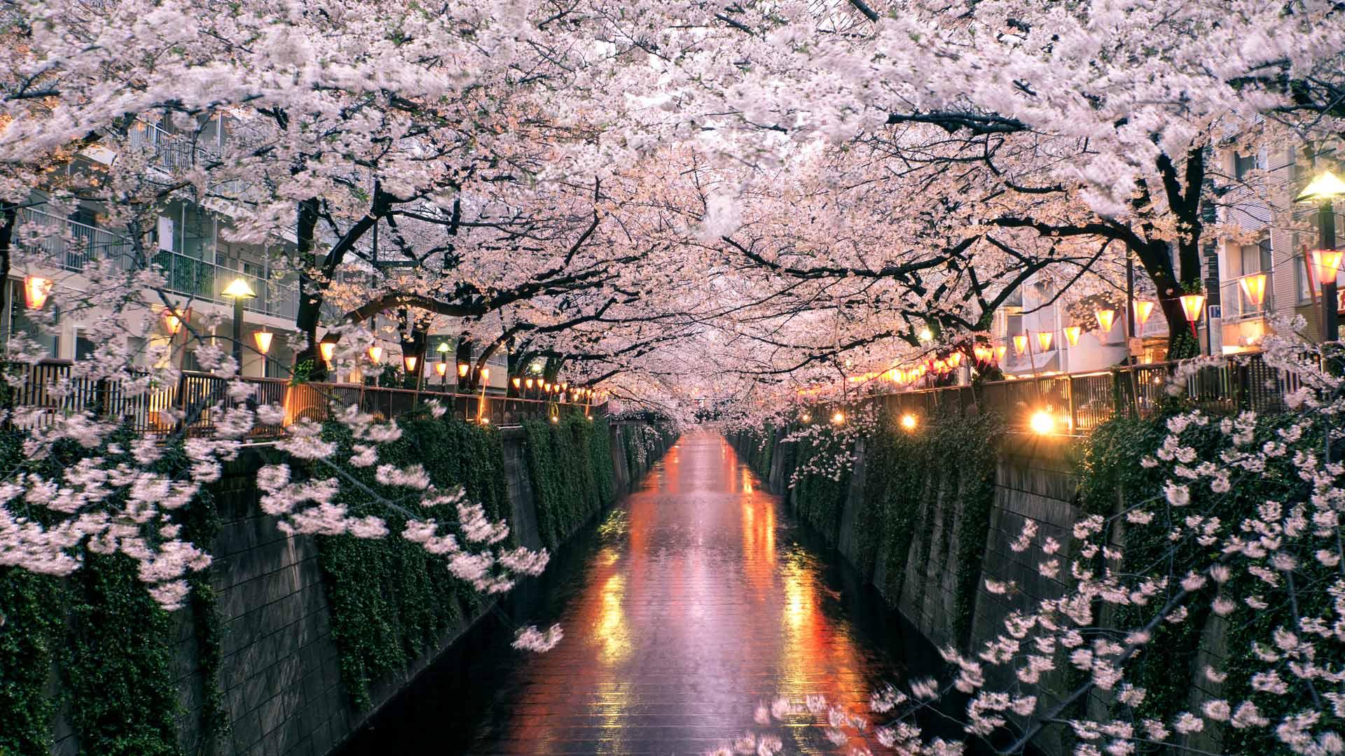 目黑川上盛开的樱花,日本东京 (© taketan/Getty Images)